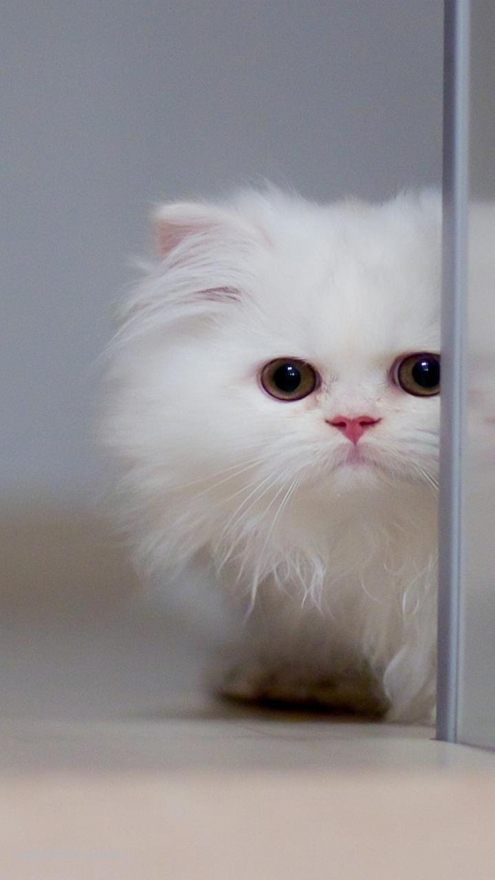 白い小さな猫のandroid壁紙 720 X 1280 壁紙キングダム スマホ版