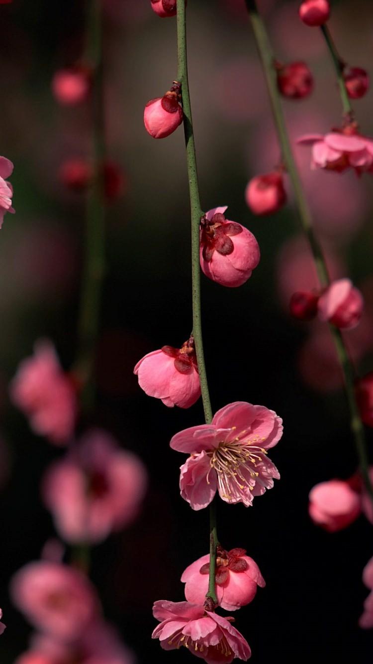 ピンクの梅の花のiphone6壁紙 壁紙キングダム スマホ版