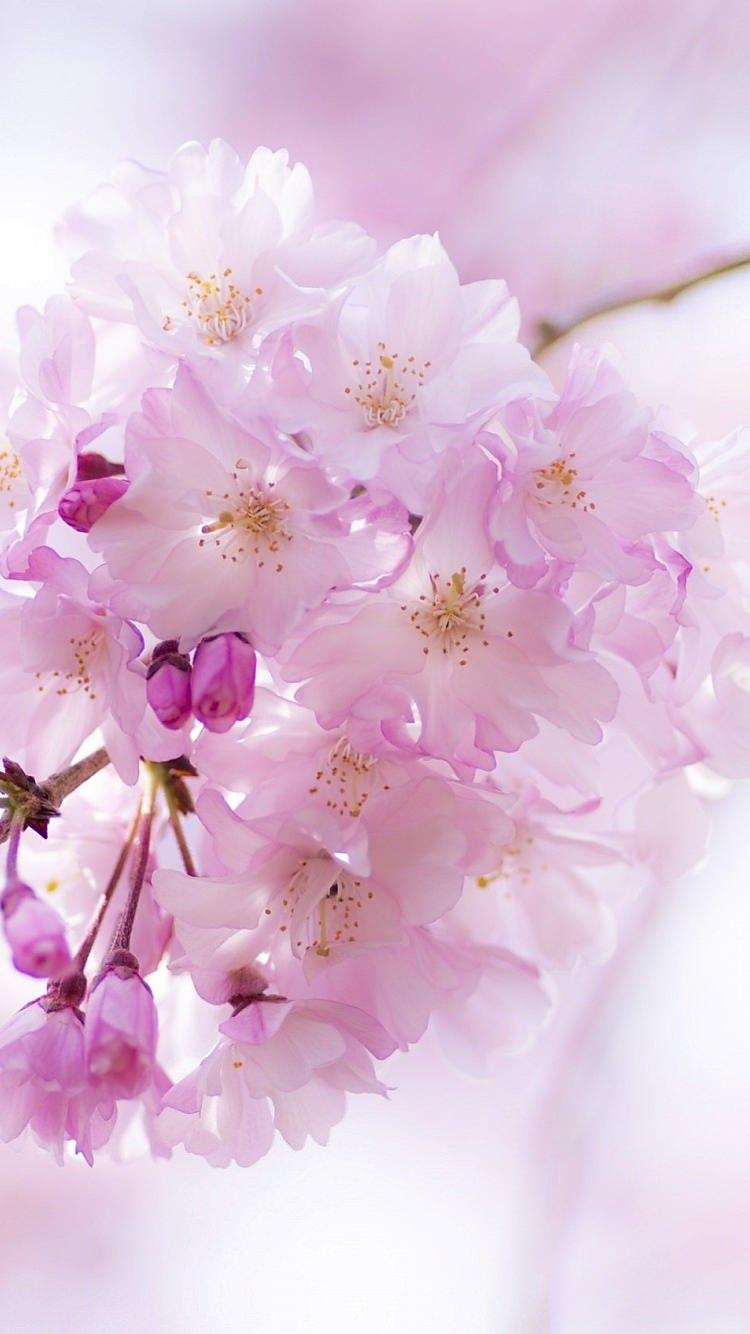 かわいい桜の花と蕾のiphone7壁紙 壁紙キングダム スマホ版