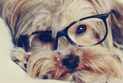 メガネをかけたヨークシャーテリア